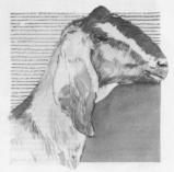 pentekening nubische geit